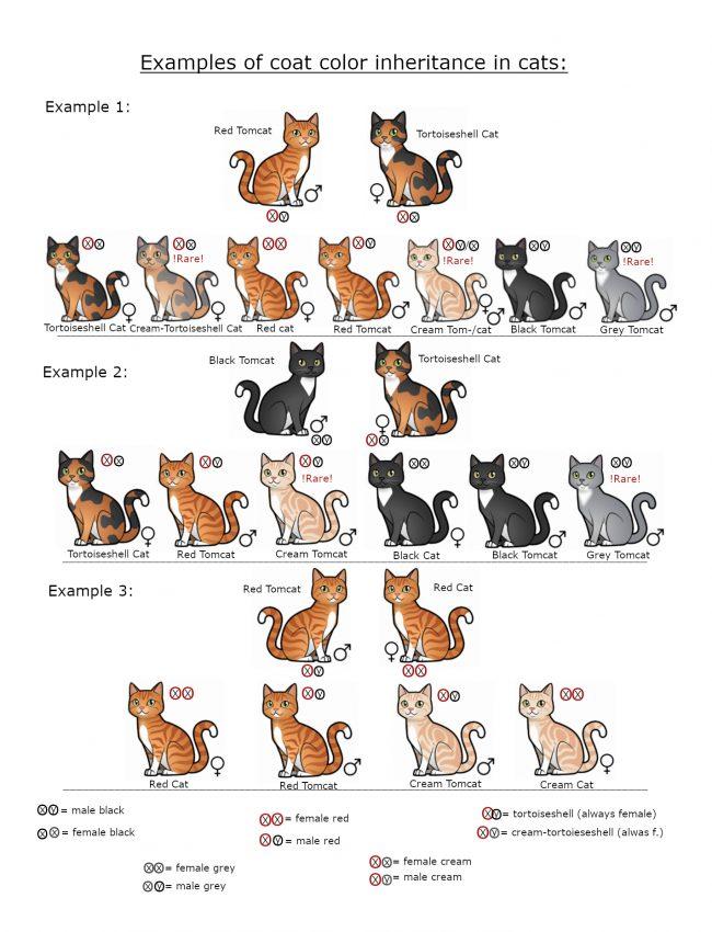 Beispiele_der_Fellfarben-Vererbung_bei_Katzen_Englisch2